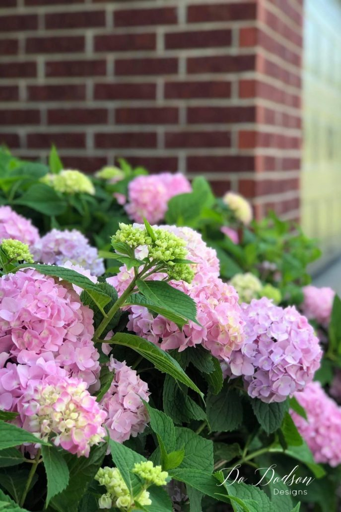 Pruning hydrangeas can be tricky in the Spring. One wrong cut, and there goes your beautiful blooms. I do this every year, and it works!